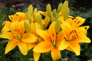 Yellow Lilies Picture for Android, iPhone and iPad