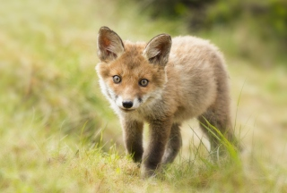 Cute Fox Cub Picture for Android, iPhone and iPad