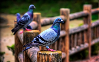 Pigeon Background for Android, iPhone and iPad
