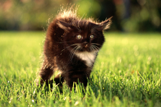 Black Fluffy Kitty Picture for Android, iPhone and iPad