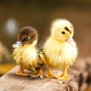 Ducklings - Obrázkek zdarma pro iPad mini