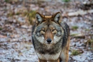 Coyote - Obrázkek zdarma pro Nokia C3
