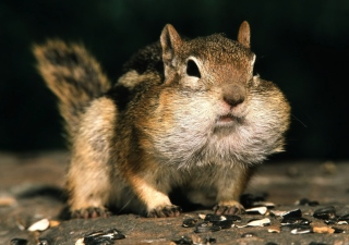 Chipmunk Wallpaper for Android, iPhone and iPad