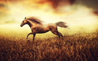 Horse Running In Wheat Field Wallpaper for Android, iPhone and iPad