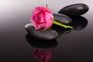 Pink rose and pebbles Wallpaper for Android, iPhone and iPad