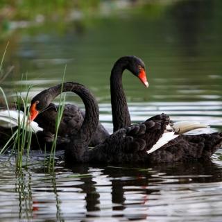 Black Swans on Pond - Obrázkek zdarma pro iPad