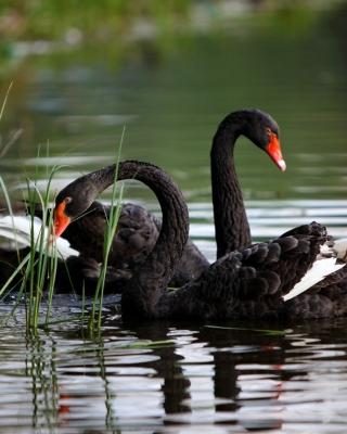 Black Swans on Pond - Obrázkek zdarma pro Nokia 300 Asha