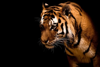 Bengal Tiger HD Wallpaper for Android, iPhone and iPad