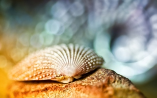 Seashell Macro Wallpaper for Android, iPhone and iPad