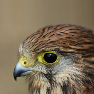 Kestrel Bird - Obrázkek zdarma pro 208x208