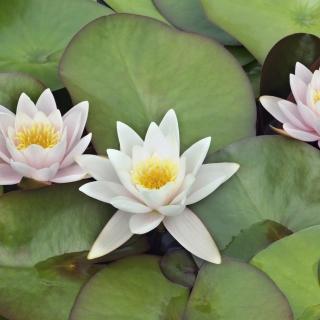 Water Lilies - Obrázkek zdarma pro iPad mini 2