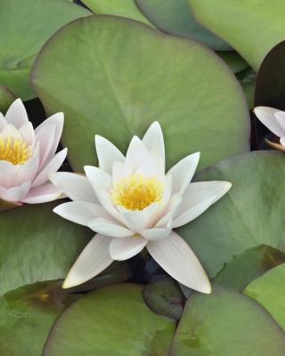 Water Lilies - Obrázkek zdarma pro Nokia X7