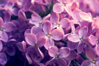 Lilac Flowers Background for Android, iPhone and iPad