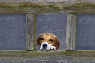 Dog Behind Wooden Fence Background for Android, iPhone and iPad