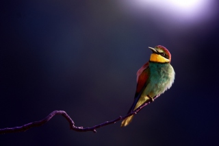 Golden Bee-Eater Background for Android, iPhone and iPad
