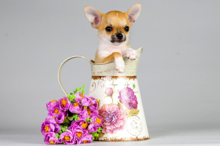 Chihuahua Background for Android, iPhone and iPad