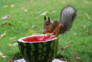 Free Squirrel Likes Watermelon Picture for Android, iPhone and iPad
