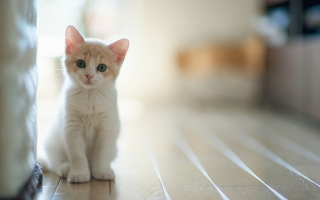 White Baby Cat Background for Android, iPhone and iPad