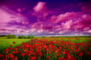 Poppies Field Picture for Android, iPhone and iPad