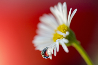 Tear Of Daisy Wallpaper for Android, iPhone and iPad