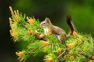 Squirrel And Cones Picture for Android, iPhone and iPad