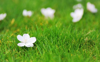 White Flower On Green Grass Wallpaper for Android, iPhone and iPad