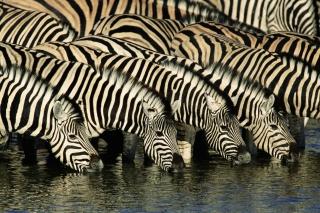 Zebras Drinking Water - Obrázkek zdarma pro 1600x1280