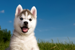 Husky Puppy Wallpaper for Android, iPhone and iPad