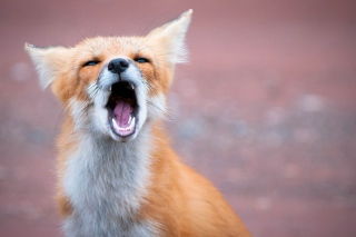 Yawning Fox Wallpaper for Android, iPhone and iPad