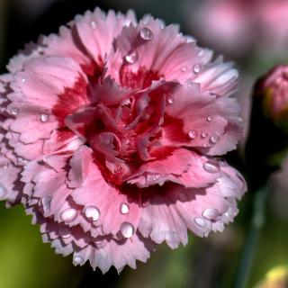 Carnation Flowers - Obrázkek zdarma pro iPad 2