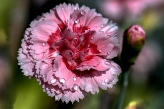 Carnation Flowers - Obrázkek zdarma pro Samsung Galaxy Tab 4 7.0 LTE