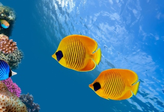 Tropical Golden Fish Wallpaper for Android, iPhone and iPad
