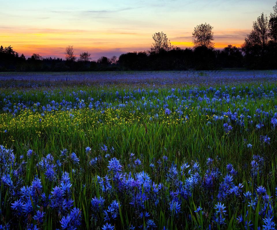 Blue Flower Field Wallpaper For Nokia XL