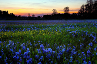 Blue Flower Field Background for Android, iPhone and iPad