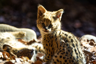 Serval Cat Wallpaper for Android, iPhone and iPad