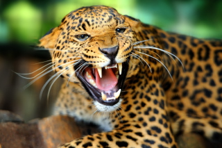 Hungry Leopard Background for Android, iPhone and iPad