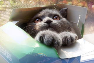 Grey Baby Cat In Box Picture for Android, iPhone and iPad