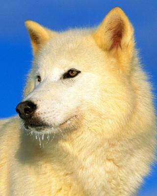 White Wolf - Obrázkek zdarma pro Nokia 5800 XpressMusic