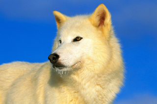 Free White Wolf Picture for Android, iPhone and iPad