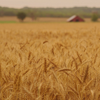 Ears of rye and wheat - Obrázkek zdarma pro iPad 2