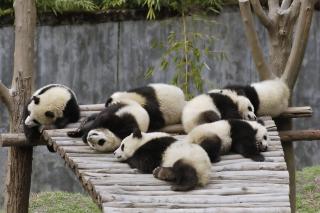 Funny Pandas Relaxing - Obrázkek zdarma pro Fullscreen Desktop 1600x1200