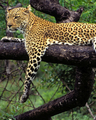 African Leopard - Obrázkek zdarma pro iPhone 4