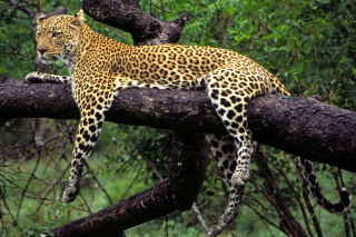 Free African Leopard Picture for Android, iPhone and iPad