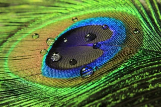 Peacock Feather - Obrázkek zdarma pro 1280x1024