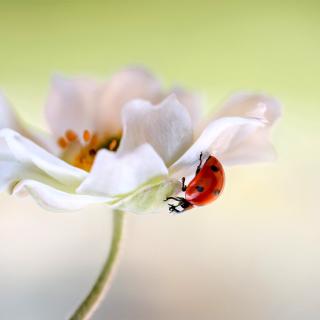 Lady beetle on White Flower - Obrázkek zdarma pro 208x208