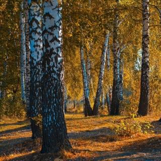 Russian landscape with birch trees - Obrázkek zdarma pro 208x208