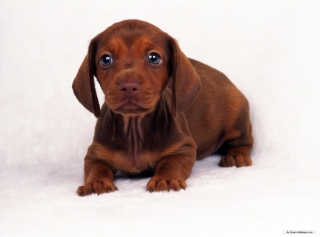 Free Dachshund Picture for Android, iPhone and iPad