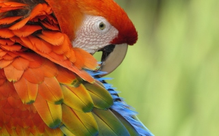 Parrot Close Up Background for Android, iPhone and iPad