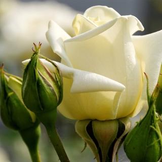 White Rose Closeup - Obrázkek zdarma pro iPad 2