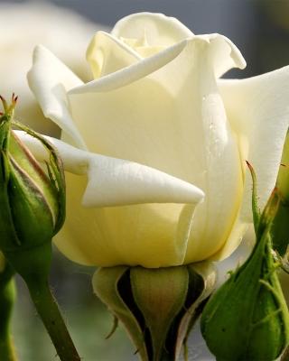White Rose Closeup - Obrázkek zdarma pro Nokia Lumia 822